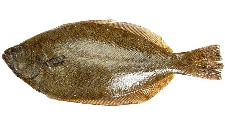 ヒラメ(平目/鮃)のイメージ画像