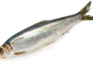 にしん(鯡/鰊)のイメージ画像:食べ物辞典トップ用